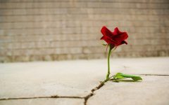 The Rose that Learned to Grow in Concrete