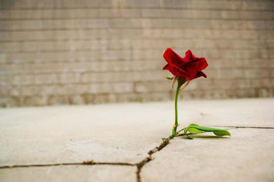 The+Rose+that+Learned+to+Grow+in+Concrete
